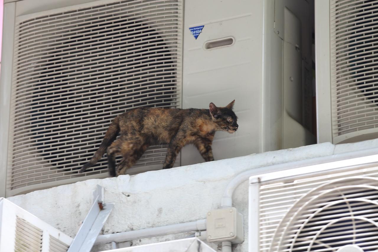 貓囡出世以來都有附近生活,但一家三口現在只餘下牠。(蔡正邦攝)