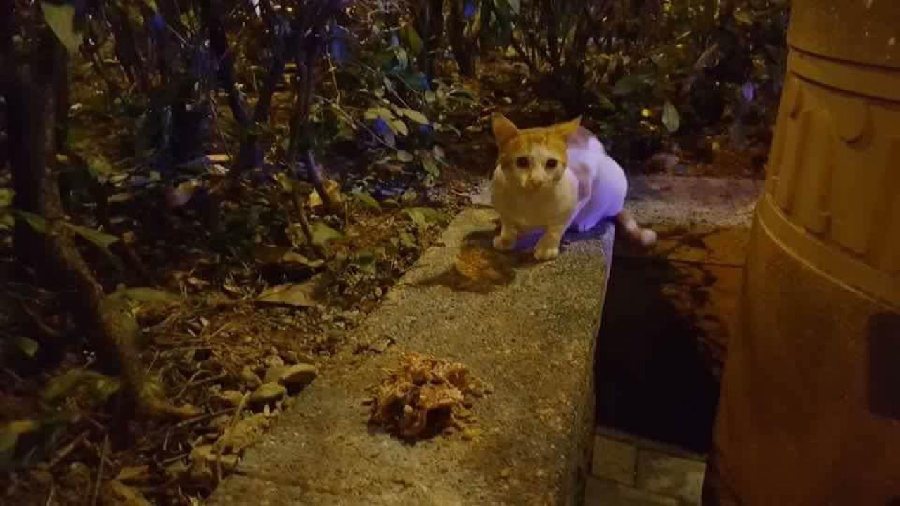 被指為被虐待的小貓,於大埔廣福道一帶流浪。(網上圖片)