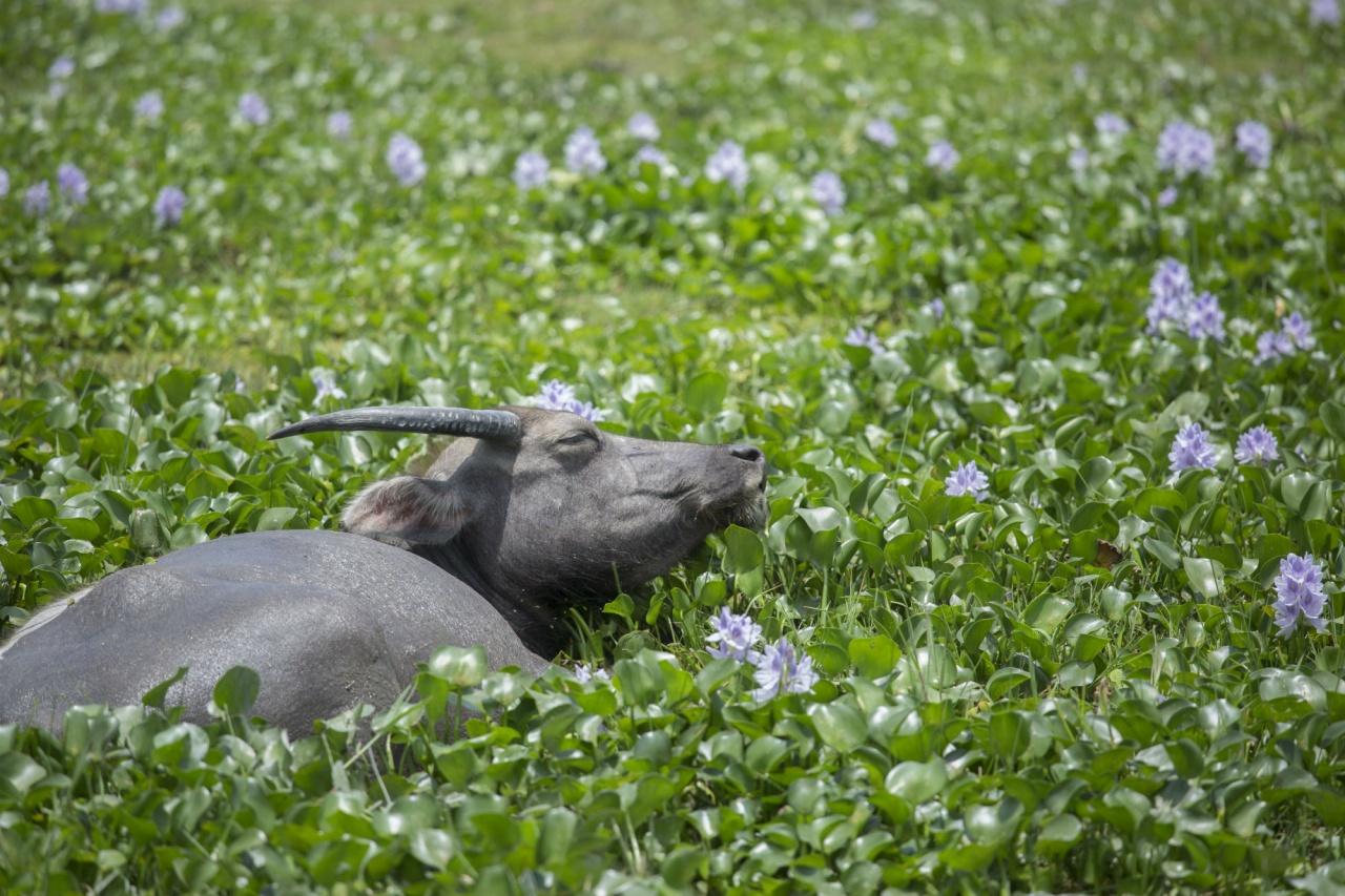 曾經是荒廢農地,貝澳經由水牛創造出一個獨特的濕地生境。採訪當天遇上盛放的布袋蓮,一片淡紫色花海令人印象深刻。
