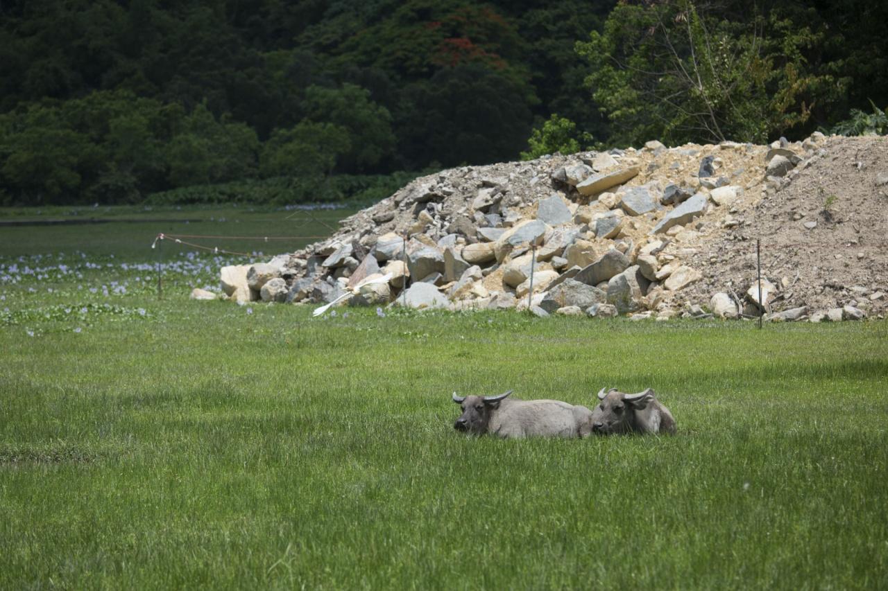 大嶼山發展計劃如箭在弦,雖然計劃尚未正式敲定,垃圾及泥頭已率先進駐,逐步吞併水牛的棲息地。