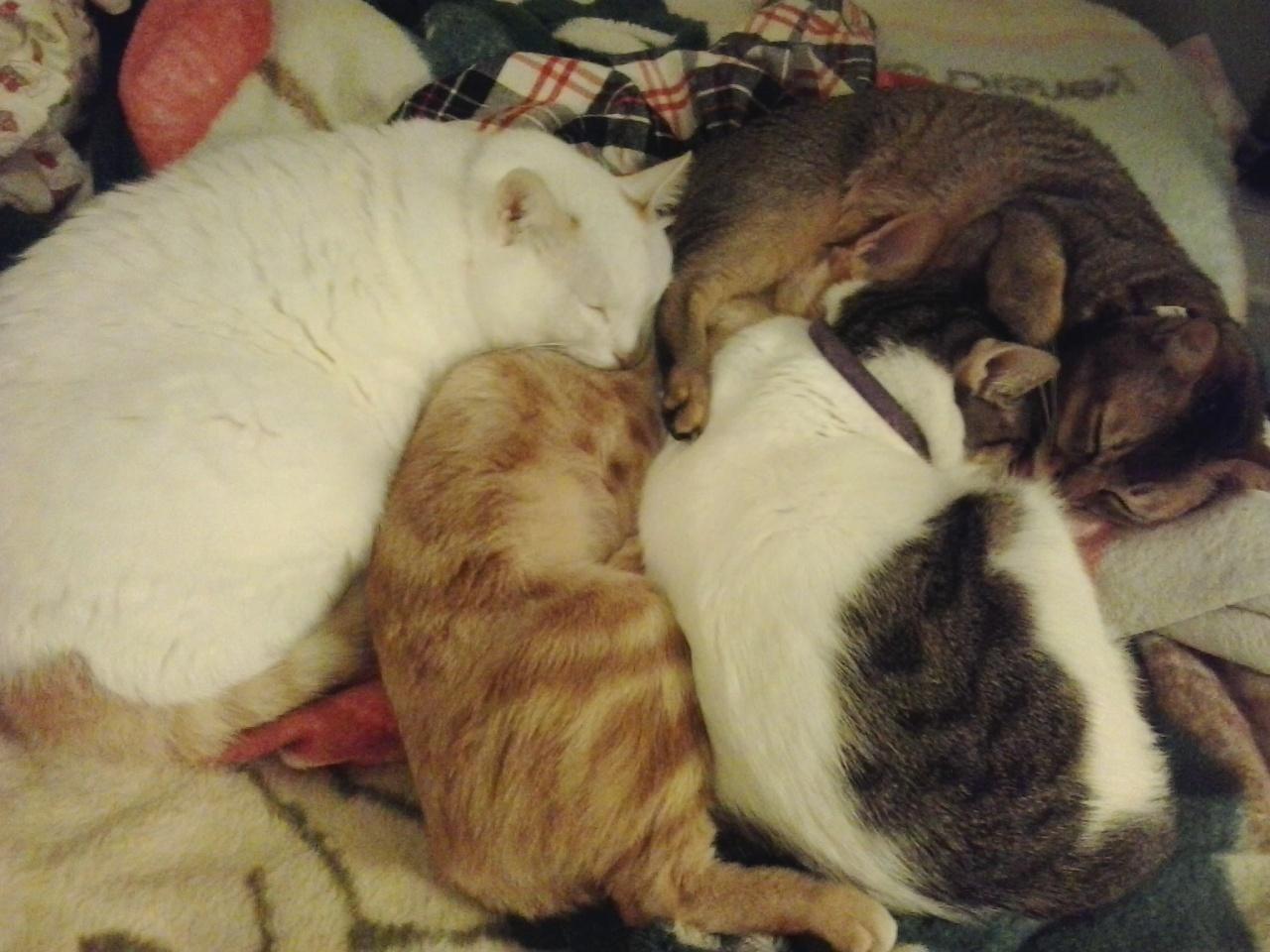 張婉雯領養的貓(左起)罅罅、盼盼、必必、BB車,作為貓主,她也反問社區動物的出路是否只有被領養?(圖:由受訪者提供)