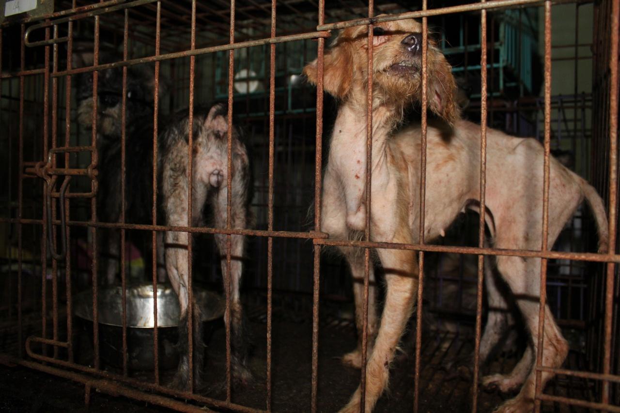 無牌繁殖場狗隻往往因缺乏清潔環境而患上皮癬,只要疾病無礙他們交配,繁殖場主就不會多管。(愛護動物協會提供)