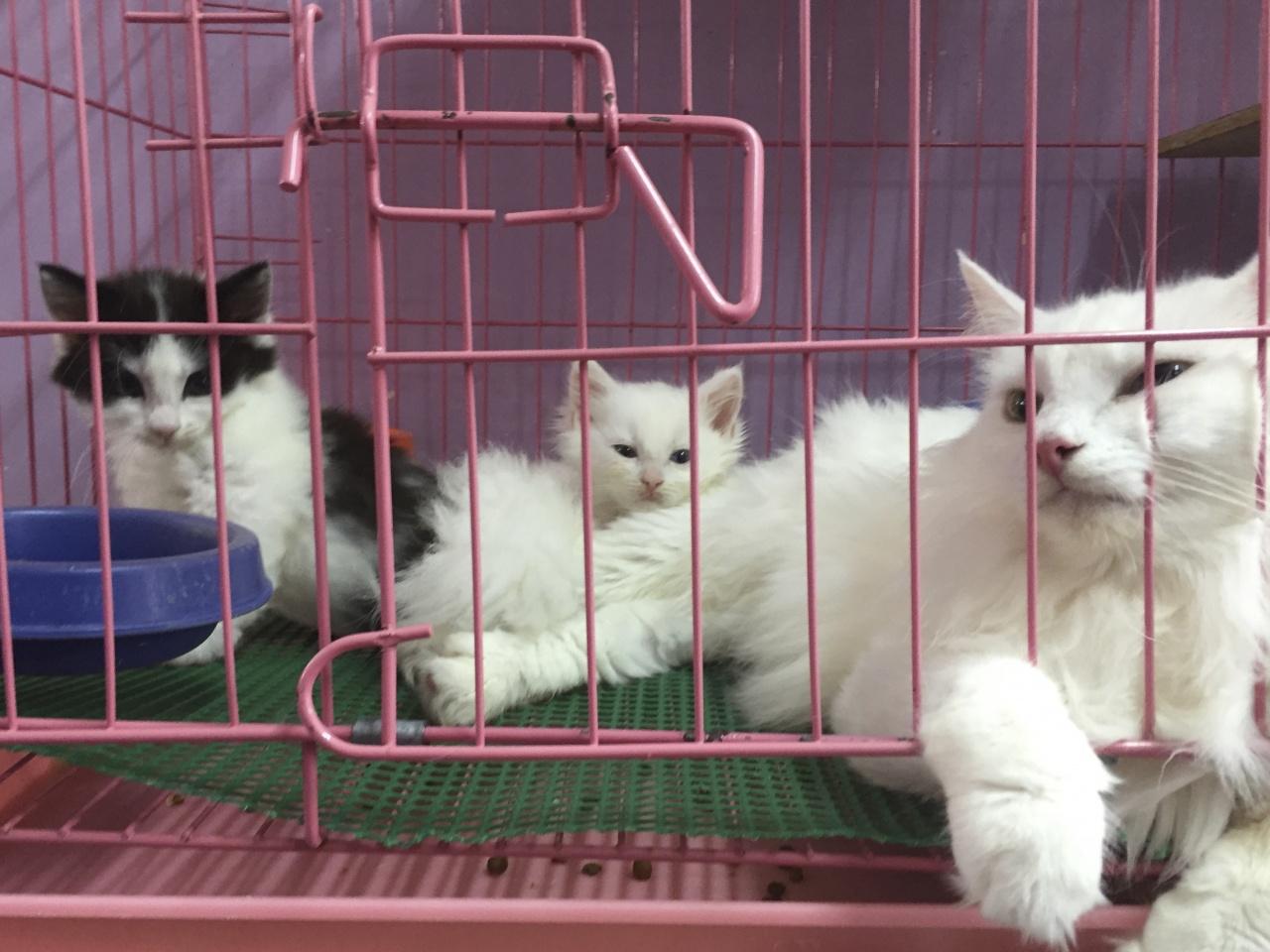 寵物店店主明言貓隻為住家繁殖,單單在記者上訪的一日,就有十餘隻貓媽媽誕下一胎。(香港01記者攝)