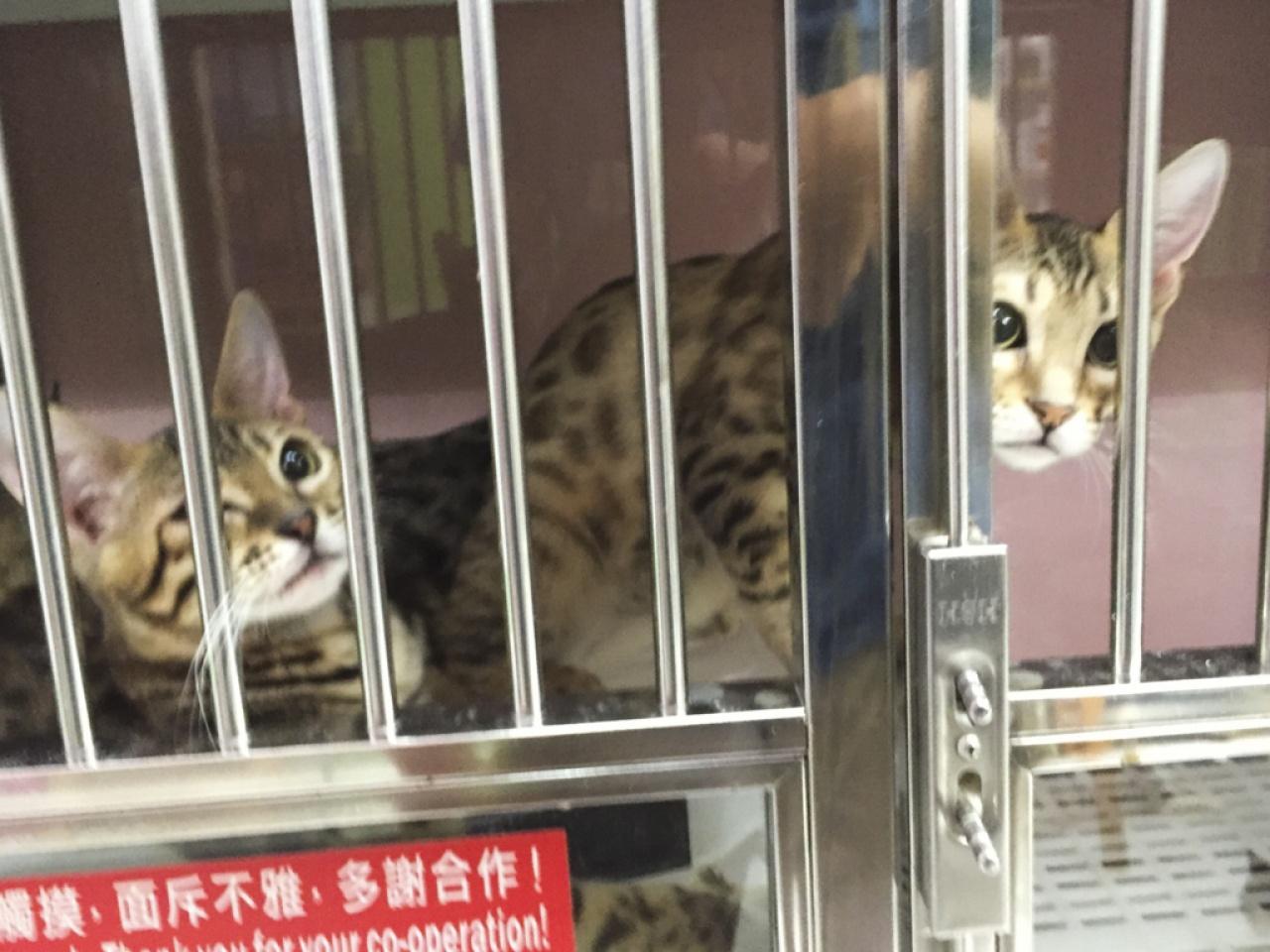 業餘繁殖場的小貓都被困在細小的籠中。(香港01記者)