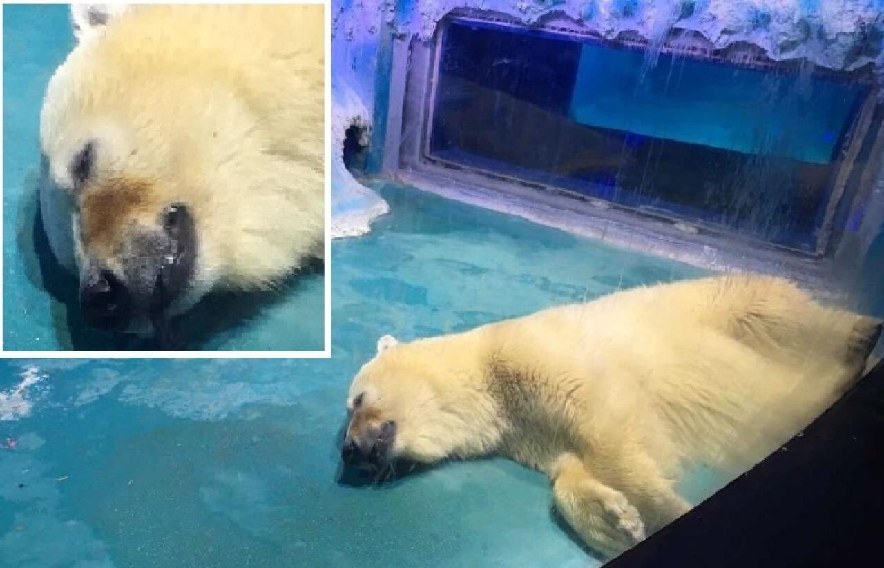 廣州「正佳極地海洋世界」北極熊奄奄一息。(資料圖片)