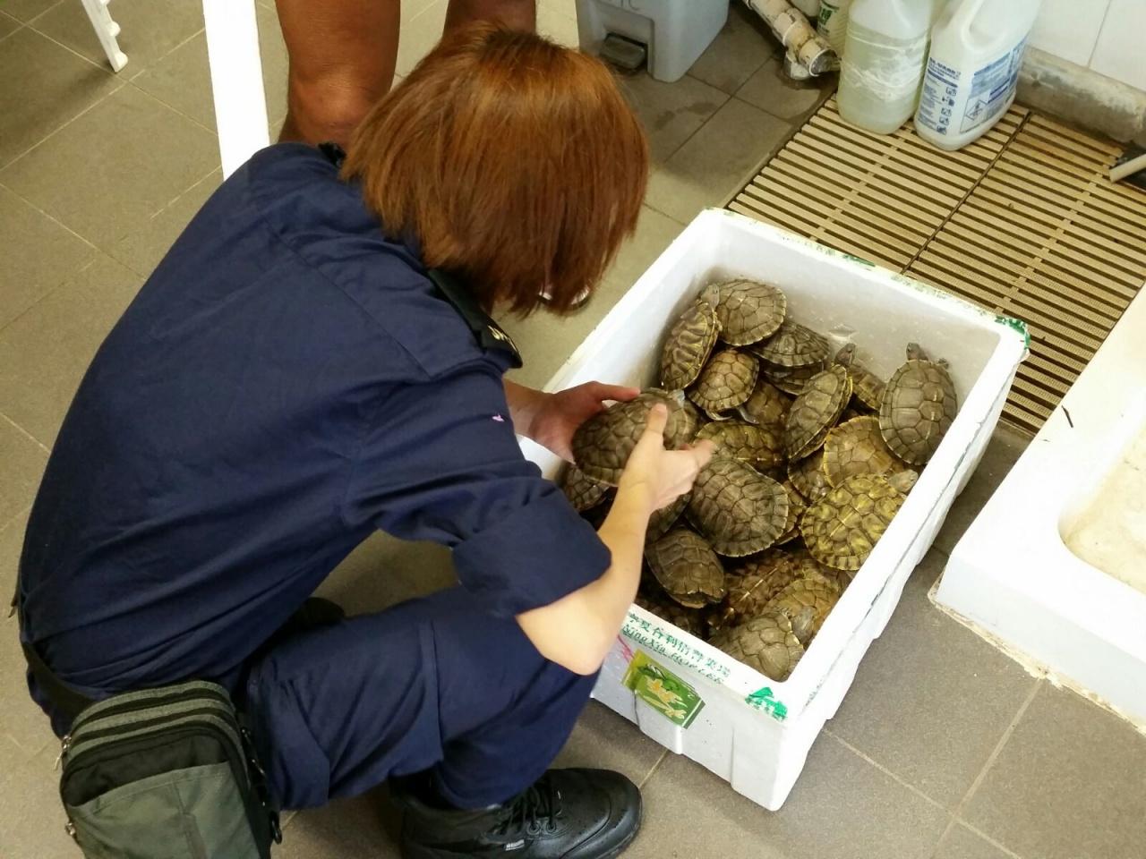 愛護動物協會到場,將48隻由救生員於防鯊網救起的巴西龜,帶回總部檢查及治療。(愛護動物協會)