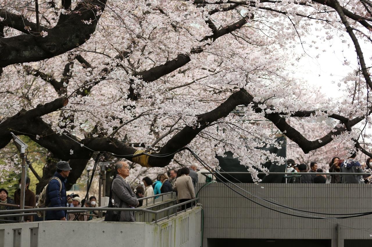 日本櫻花季節吸引大量遊客前往賞櫻。(新華社)