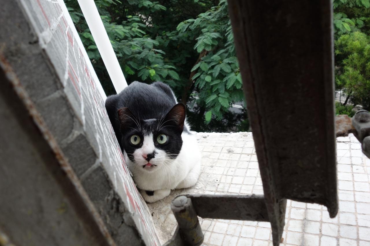 在眾多家居陷阱中,窗對貓來說是最致命的誘惑,很多時抵不住好奇往外跳。(SPCA提供)