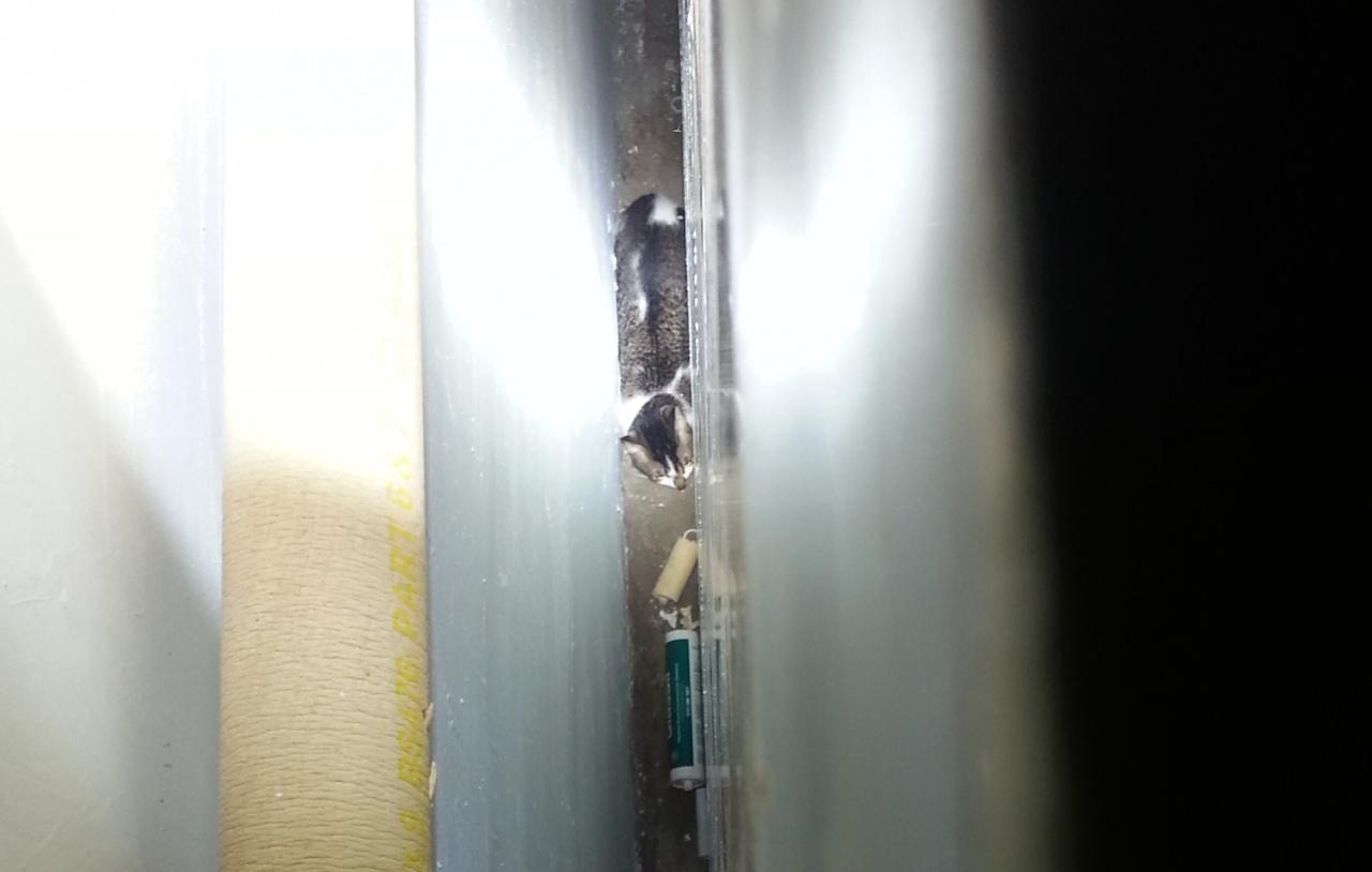大型傢具與牆壁之間,也是貓咪最常探險之地,但也有被困的危機。(SPCA提供)