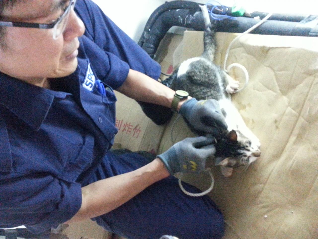 繩困貓意外雖然比較少驚動督察,但Bob sir說此種意外也非常危險。(SPCA提供)