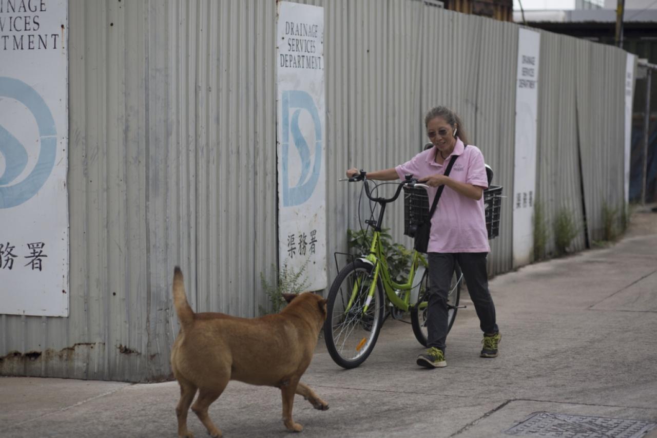 啡狗肥豬特別親人,遠處聽到車聲就跑過來接車。(吳鍾坤攝)