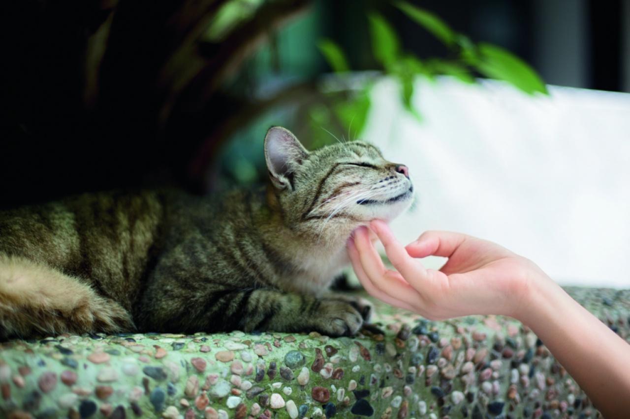 嶺大校內,貓比人尊貴,不時有同學上前供奉糧食,被同學笑稱為「嶺南特權階級」。(吳鍾坤攝)