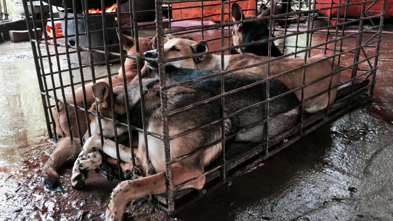 由Marc Ching (圖)創辦的外國愛護動物組織動物希望及健康基金會(The Animal Hope and Wellness Founation)今年於玉林屠宰場,買下逾千隻狗,準備帶走。(The Animal Hope & Wellness Foundation FB圖片)