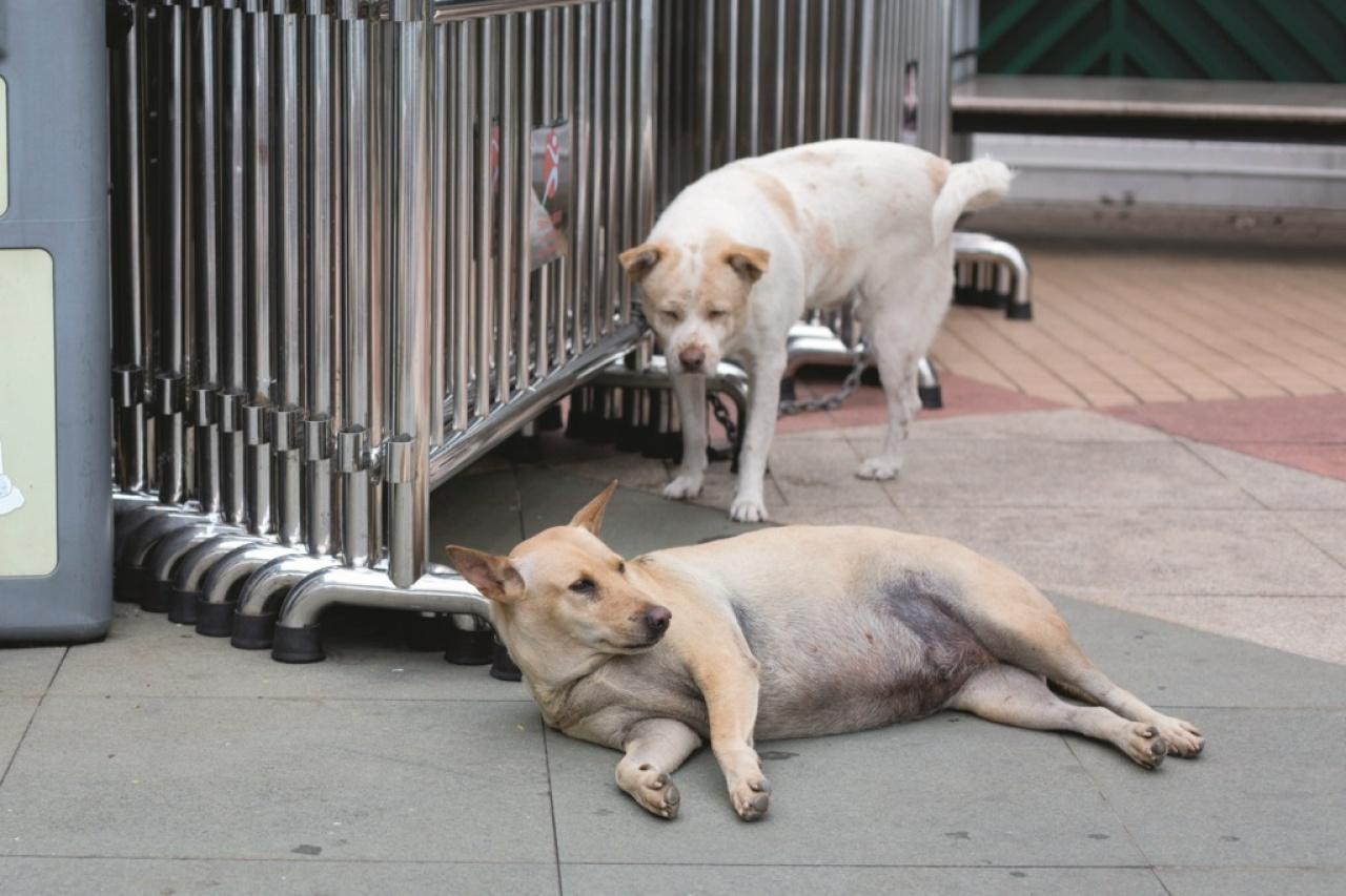 長洲的狗和島上退休老人一起攤坐在公園。(吳鍾坤攝)
