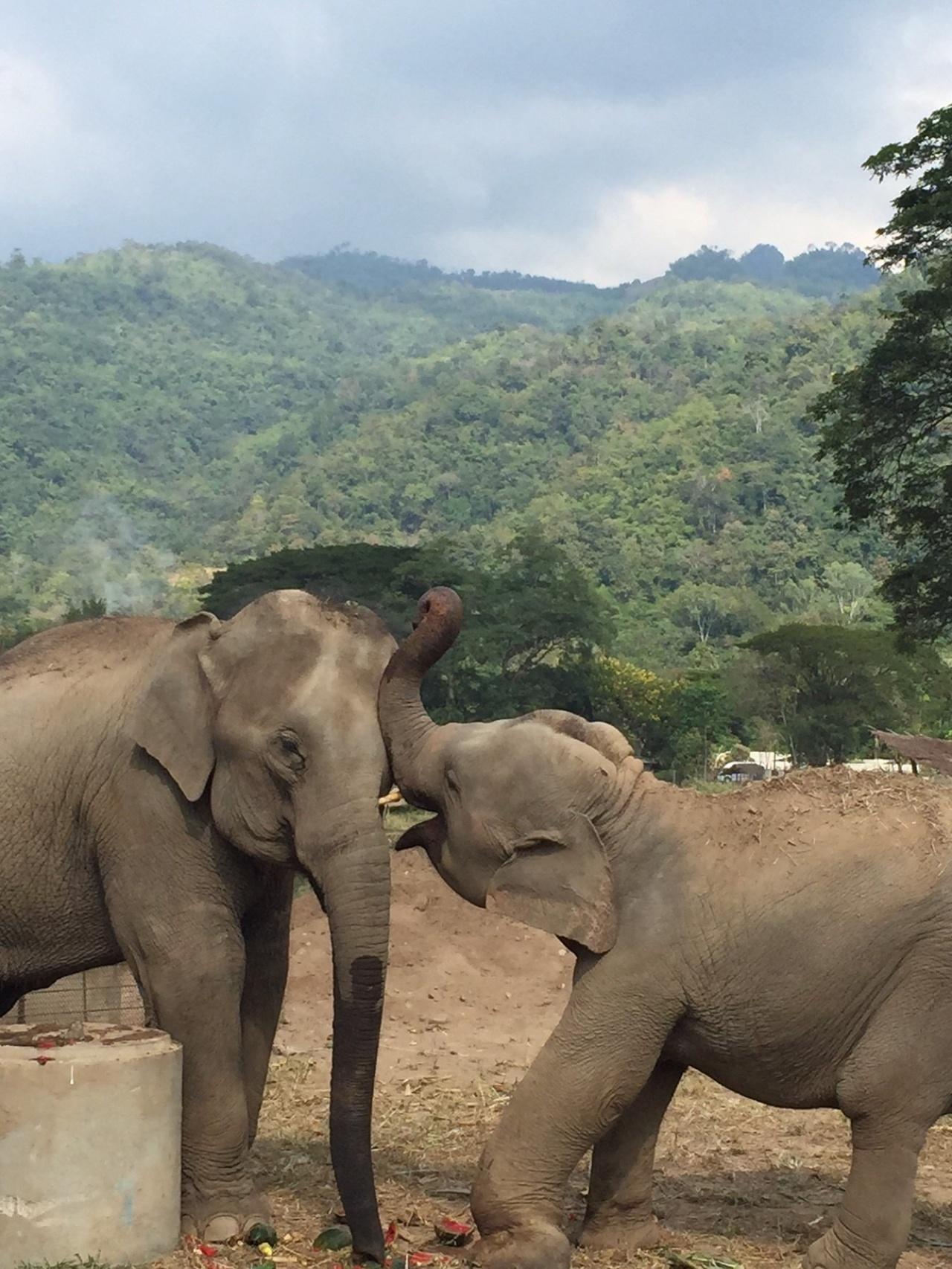(右)大象的前左腳曾經受重傷,卻沒有得照料,導致永久變形。幸而現在仍能走動。(受訪者提供)