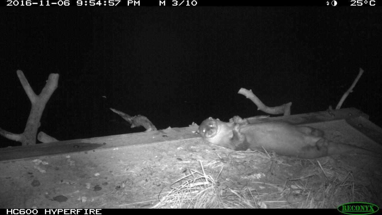 WWF去年11月和12月,利用紅外線相機拍到米埔自然保護區水獺的最新照片。(WWF提供)