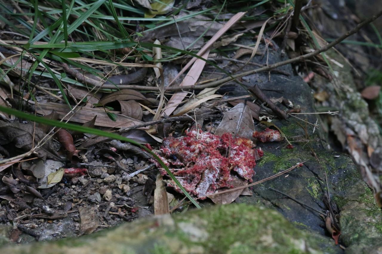 毒餌顏色各有不同,包括紫色、黑色及今次發現的紅色。(呂凝敏攝)